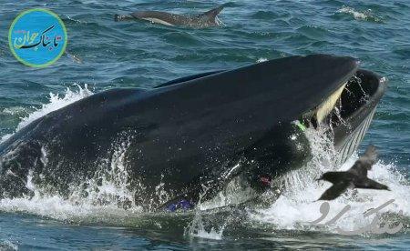 بسته خبری: لحظه بلعیده شدن غواص توسط نهنگ!