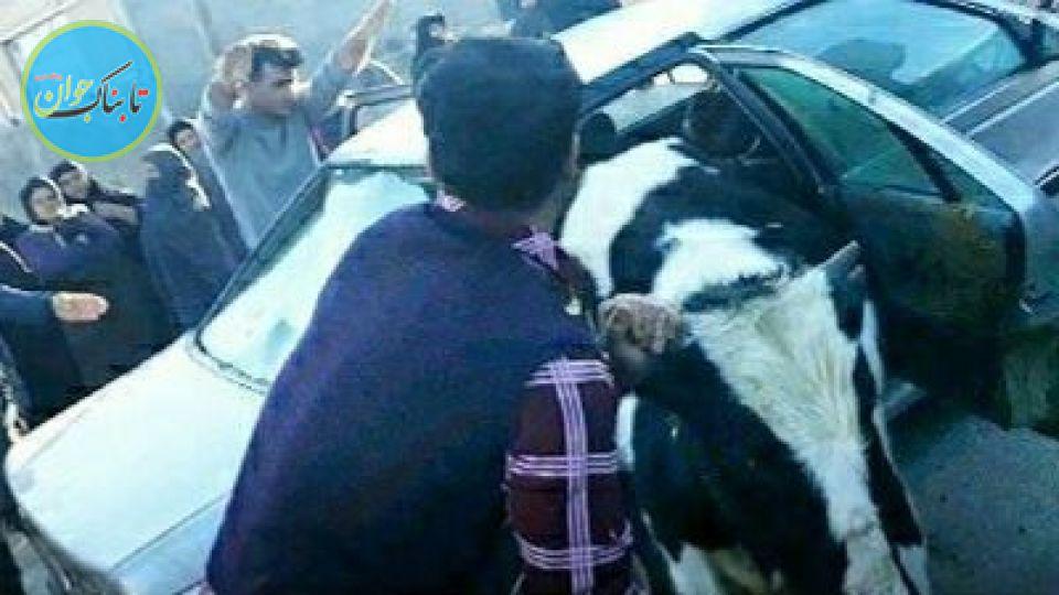 بسته خبری: سرقت و جاسازی عجیب گاو داخل پژو!
