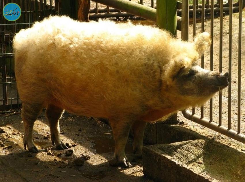 گوشت خوک گوسفندی! راست یا دروغ؟
