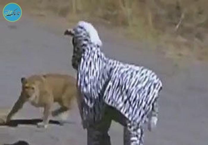 بسته خبری: عاقبت رفتن به قلمروی حیوانات با لباس گورخر!
