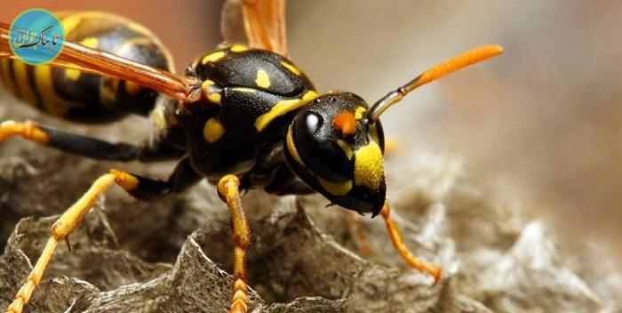 بسته خبری : کشف چهار زنبور زنده در زیر پلک یک زن تایوانی