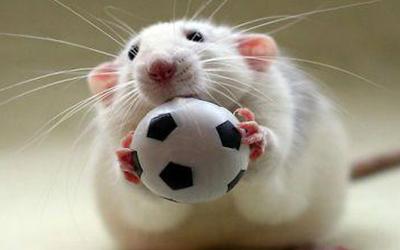 موش بازیگوش،در بازی فوتبال اختلال ایجاد کرد!