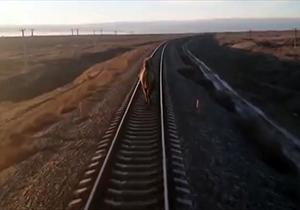 شتر در راه آهن