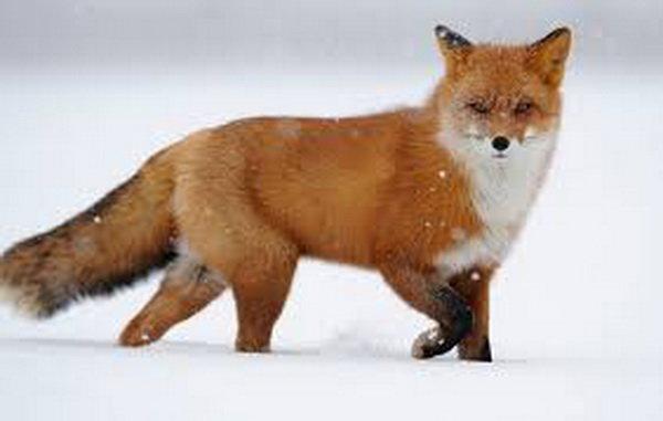 مهرمادرانه یک روباه در آتش سوزی استرالیا!
