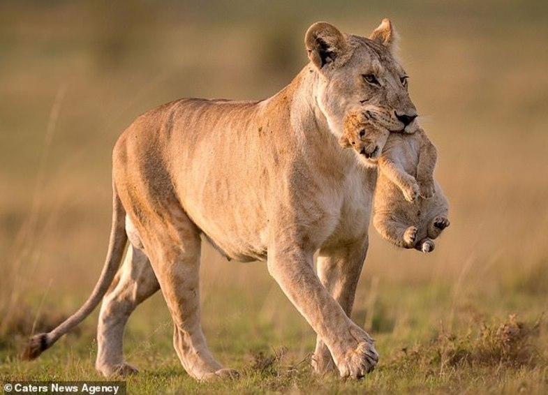 لحظه باورنکردنی از سرقت توله شیر توسط بابون
