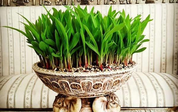 آموزش سبز کردن سبزه عید در خانه