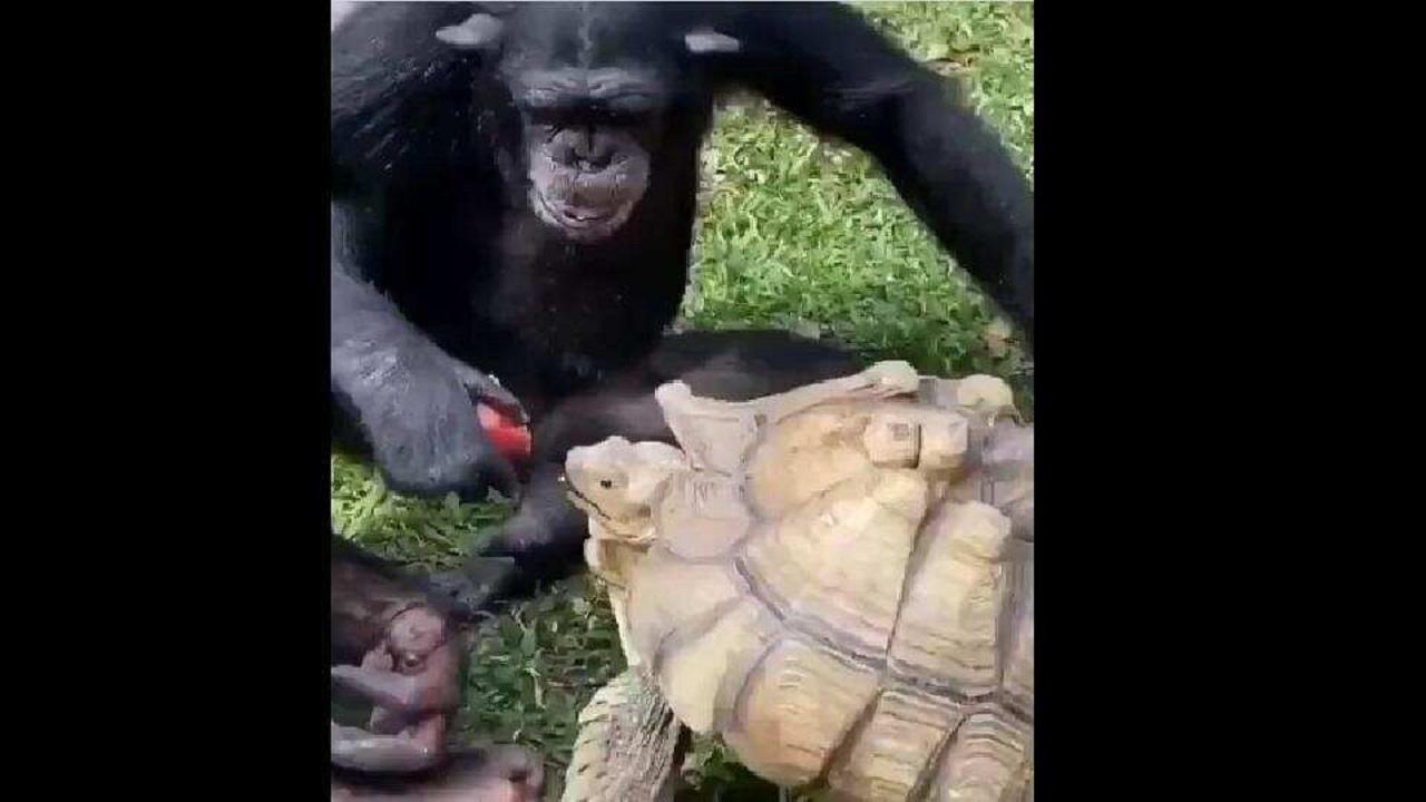 شانپانزه و لاک پشت