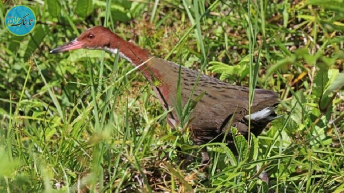 بسته خبری:بازگشت پرندهی گمشده بعد از ۱۳۶ هزار سال !