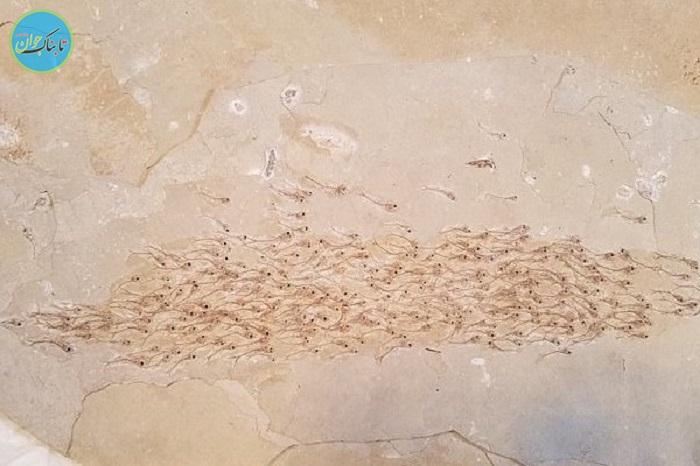 کشف فسیل ۵۰ میلیون ساله ۲۵۹ ماهی+عکس