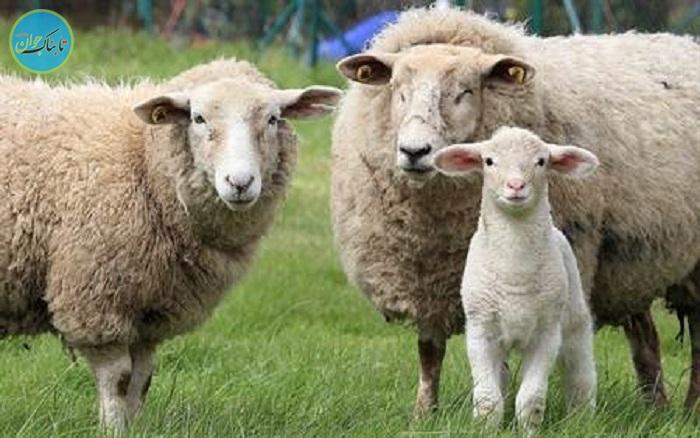 بسته خبری : گوسفندی که چندین نفر را به کُشتن داد!