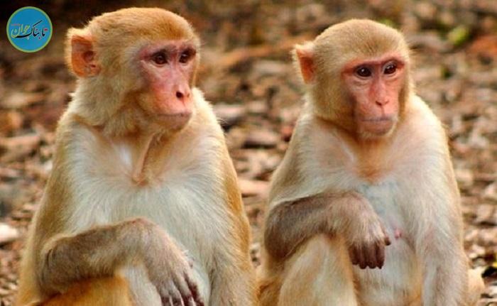واکنش عجیب گروه میمون ها به عکاس!+ فیلم