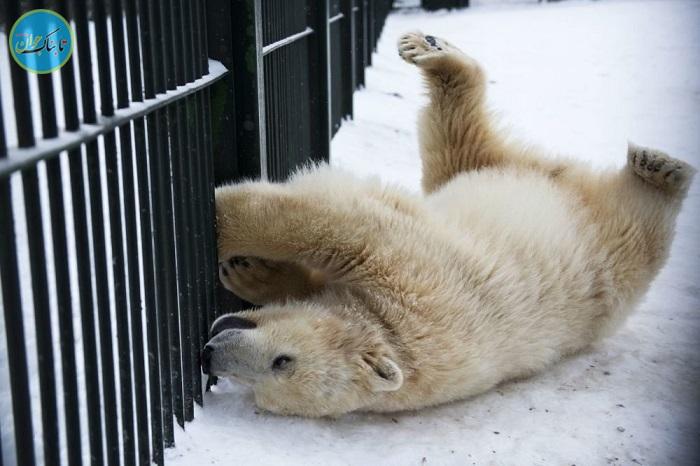 شیطنت خرسهای قطبی در مسکو+ تصاویر