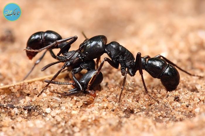 رفتار ژله ای مورچه های سامورایی+فیلم