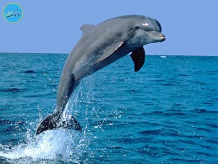 رقابت دلفین ها با جت اسکی