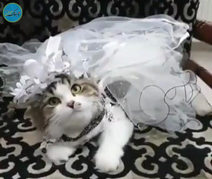 جشن عروسی مجلل گربهها یک زوج عرب+فیلم
