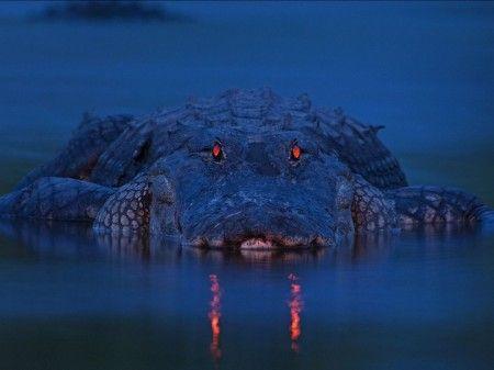 بینایی کروکودیل در شب