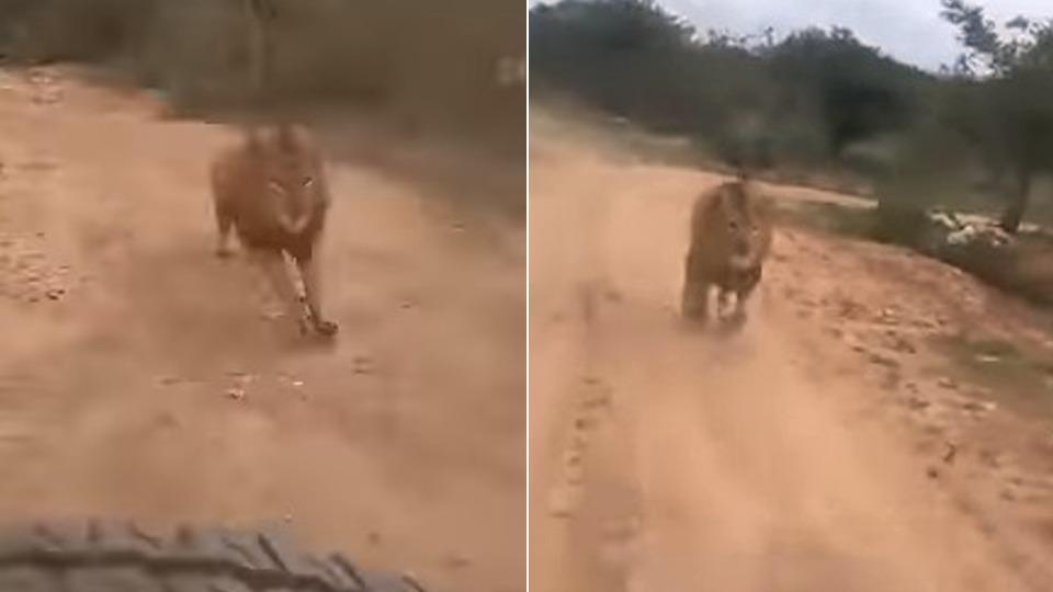 لحظه وحشتناک حمله شیر به گردشگران