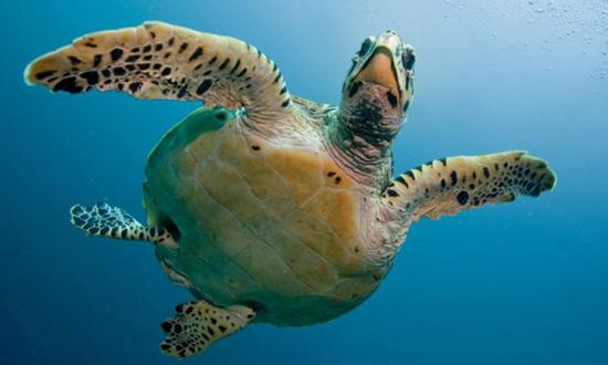 لاکپشت