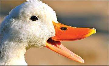 عاقبت شکایت عجیب از اردک های پر و صدا
