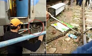 مار شاه کبرای غولپیکری که قطار را متوقف کرد!