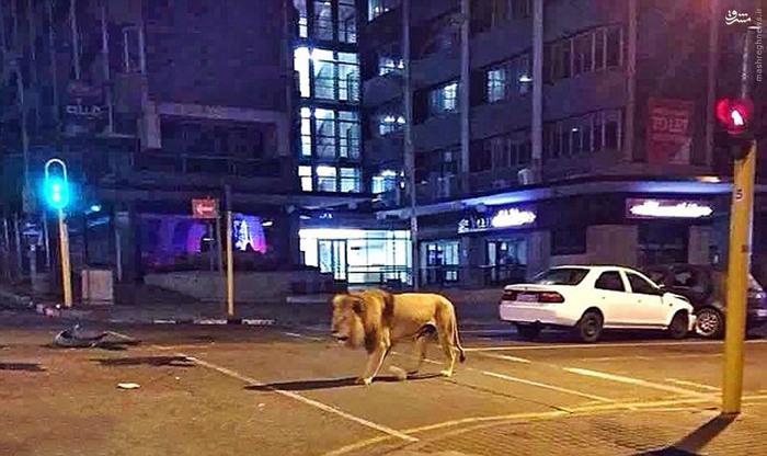شیر در خیابان