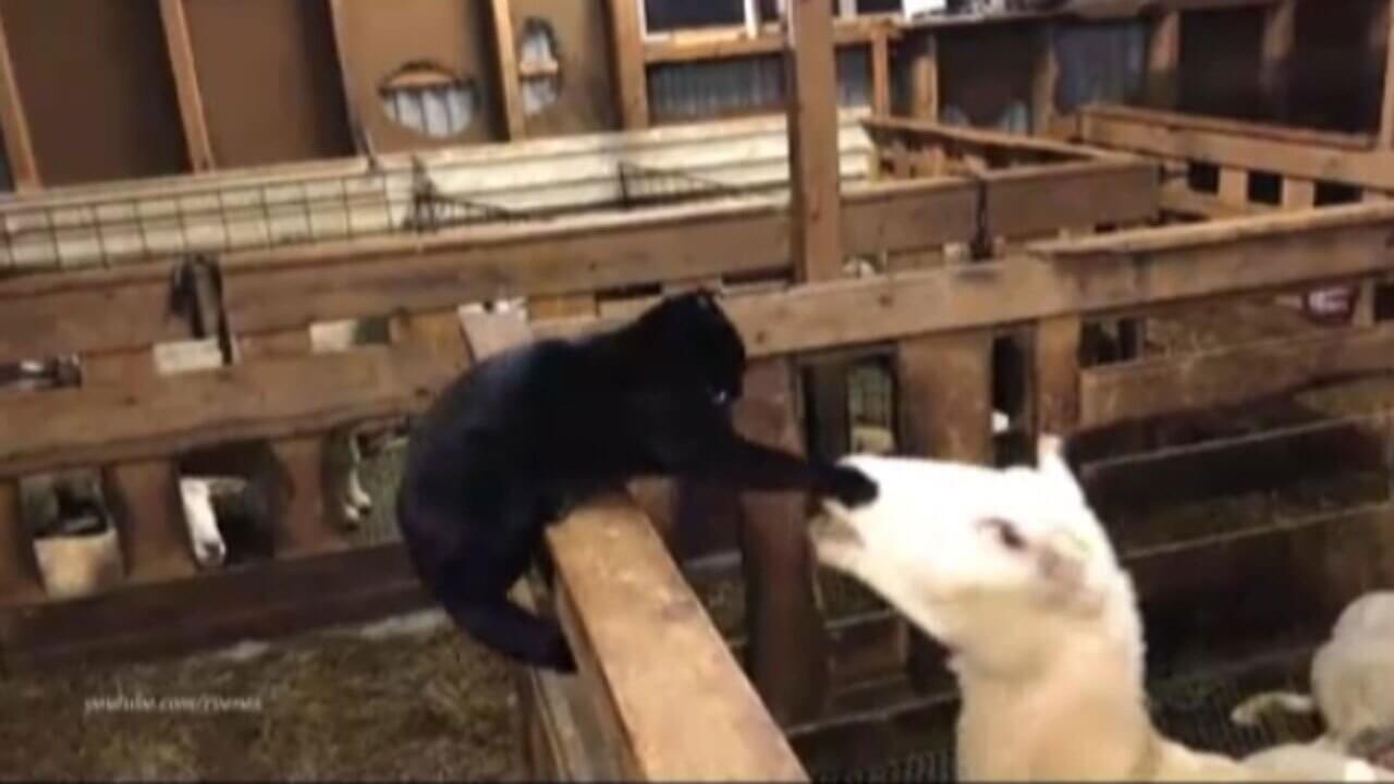 انتقام ناگهانی گوسفند از گربه