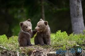 توله خرس یتیم تحت پوشش محیط زیست قرار گرفت