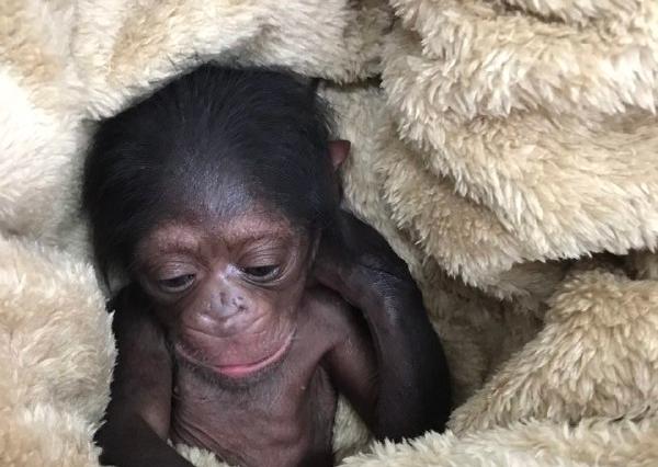 ماجرای «باران» شامپانزه ۳ سالهای که دادگاهی شد