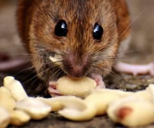 ضیافت موشها در غذاخوری یک بیمارستان!