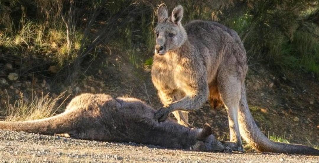 عزاداری یک کانگورو در سوگ فرزندش