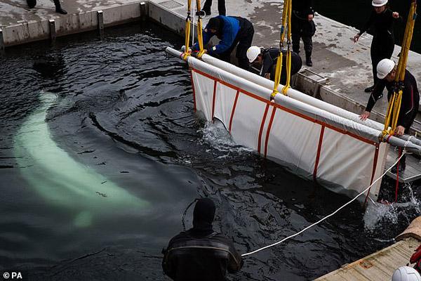 جابه جایی نهنگ