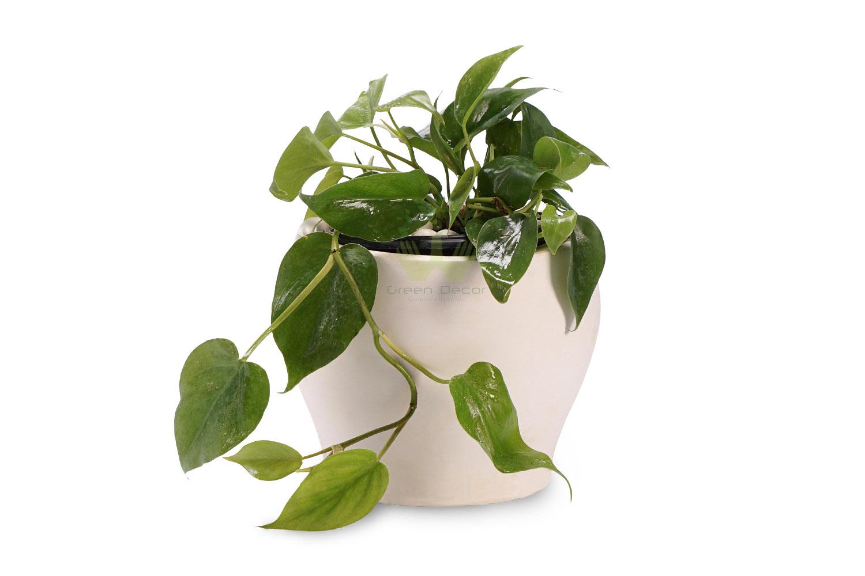 گیاه گوش گرگی