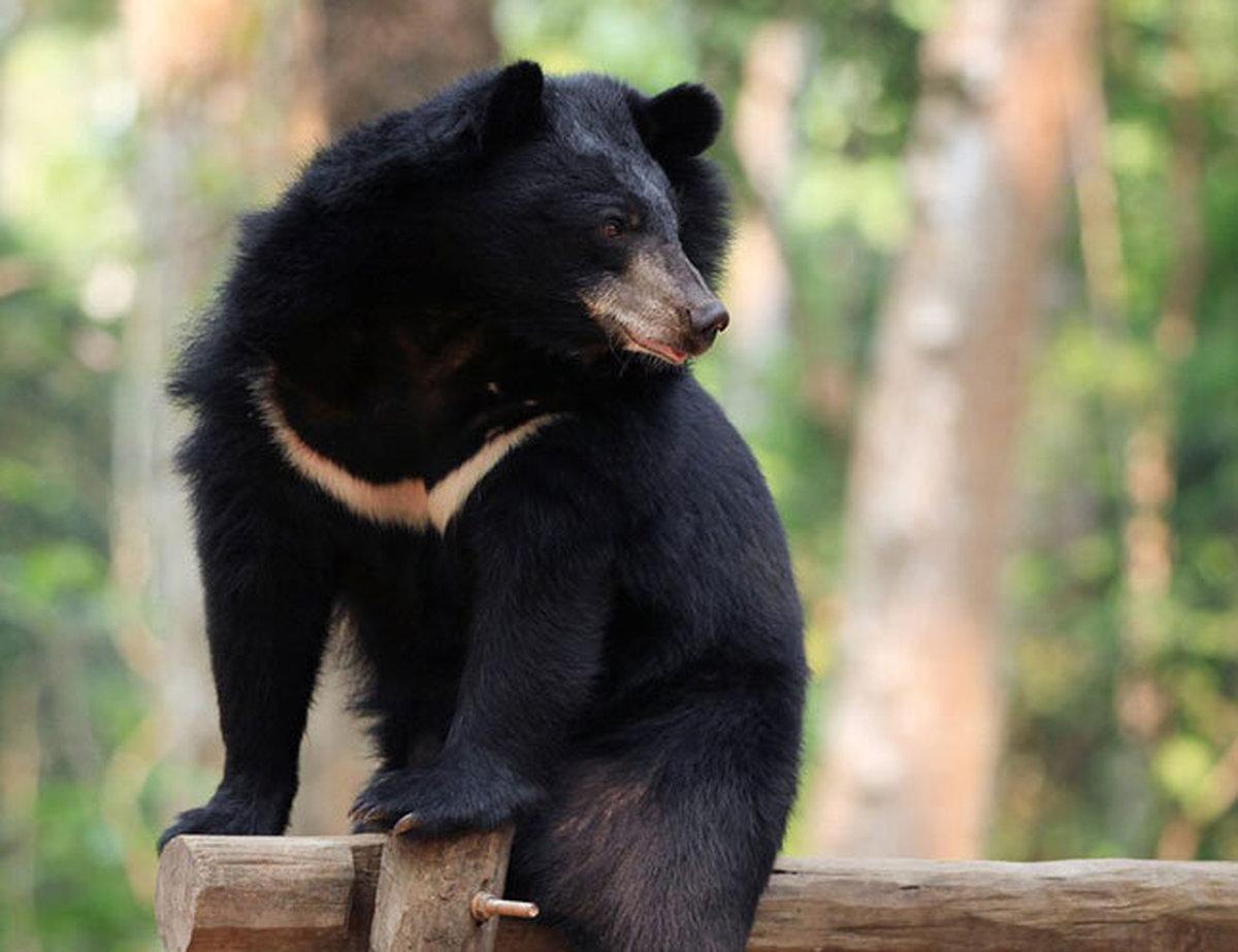 خرس سیاه